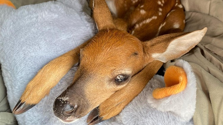 Fawn rescued after being found next to dead mother in Florida, rescue group says
