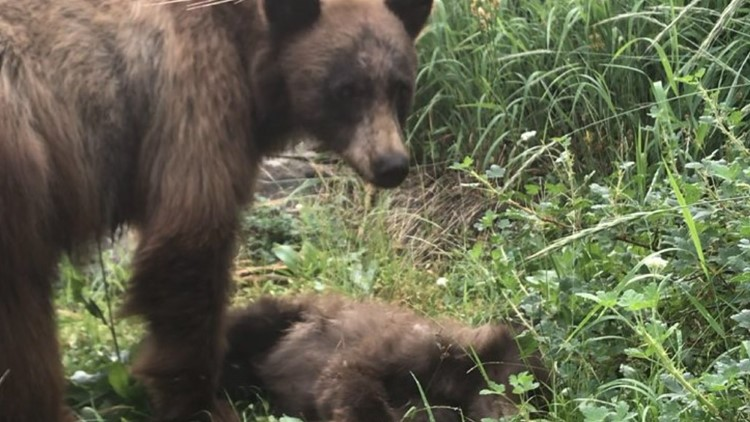 Park ranger pens heartbreaking post about mother bear calling for cub hit, killed by car