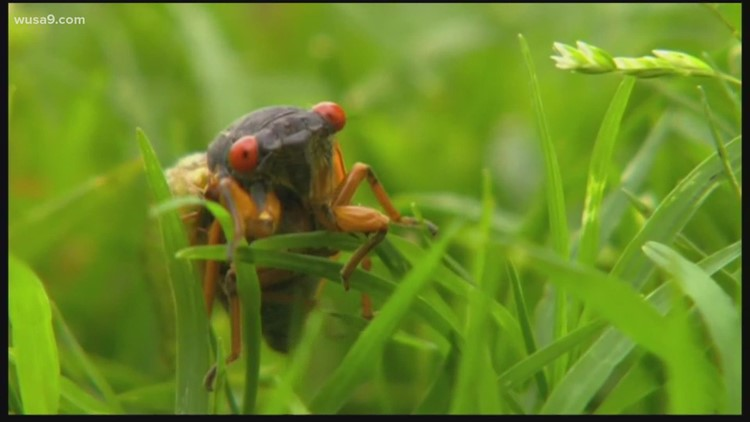 Billions of cicadas will emerge this spring and Indiana will be their main stage