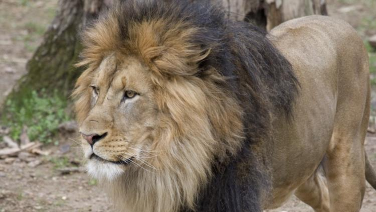 Great cats test 'presumptive positive' for COVID-19 at Smithsonian's National Zoo