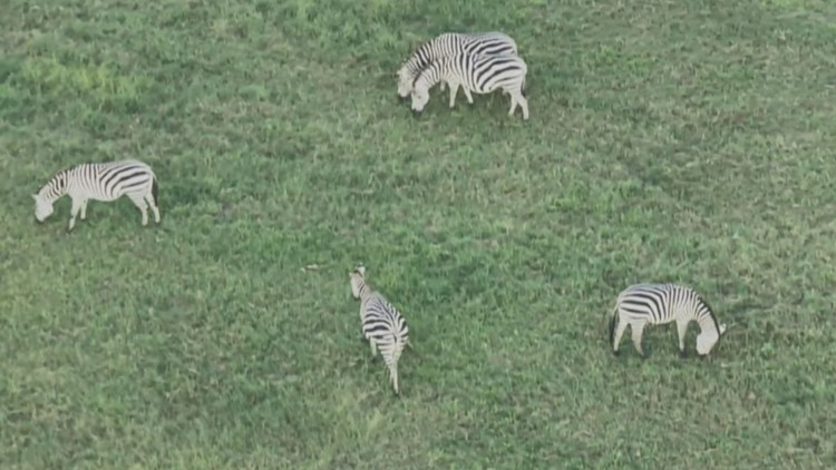 Multiple zebras on the loose in Maryland, animal control says
