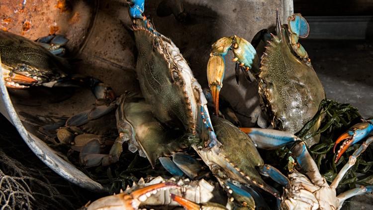 Let's break some crab legs: Maryland's female blue crab population soars