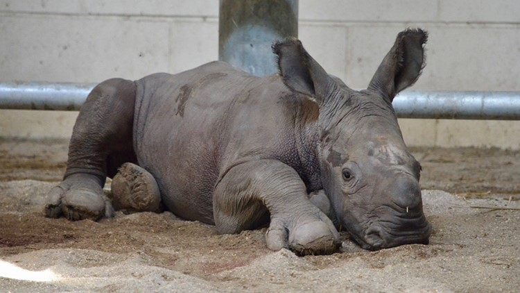 It's a boy! | Virginia Zoo welcomes first-ever southern white rhino calf