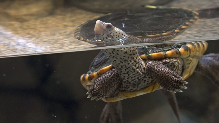 World Turtle Day: Alabama has more species of turtles than any other state