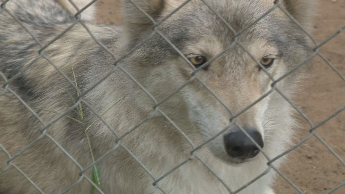 Dnr Searches Muskegon Animal Facility Where Child Was Attacked By Wolf Dog Wqad Com